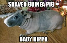 Finally, a good reason to shave a guinea pig