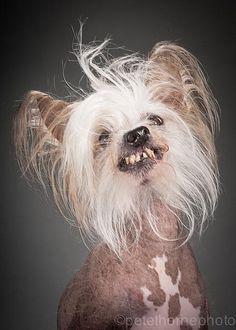 """O fotógrafo canadense Pete Thorne descobriu que, assim como os idosos, os cães velhinhos também podem posar para incríveis retratos. Em sua série """"Old Faithful"""", ele insere um olhar íntimo para capturar imagens dos melhores amigos do homem no fim de suas vidas."""