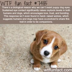 Pets Tips : Why we cant resist puppy dog eyes WTF fun facts Wtf Fun Facts, Funny Facts, Random Facts, Weird Science Facts, Creepy Facts, Puppy Dog Eyes, Dog Cat, Funny Animals, Cute Animals