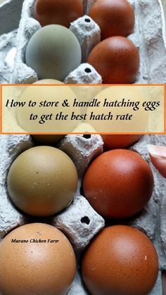 How to store and handle hatching eggs to get the best hatch rate
