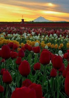 Tulip Farm in Woodburn, Oregon.... been there!