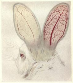 """The appearance of blood vessels in the ears of a white rabbit."""" Experimental pharmacology. 1917."""
