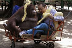 What the What?!: A man, an orangutan, and two pythons walk into a zoo...and sit in a cart. The end. Moral of the story? Celebrate World Animal Day! Say wha—? The photograph was snapped in the Malabon Zoo in Manilla in celebration of World Animal Day (October 4). The man is Manny Tangco, the owner of the zoo. Over the years, Tangco has faced media criticism inside Manilla for the condition of the zoo—with at least one blogger complaining that its cages are old, rusty, and small and that the…