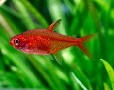 12 great community tank tetras | Features | Practical Fishkeeping