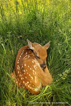 Waiting for Ma Ma! One of the most miraculous signs of Spring: new life. A white-tailed fawn in a grassy nest. Deer photo by Charles Glatzer Oh Deer, Baby Deer, Bambi, Perros Basenji, Beautiful Creatures, Animals Beautiful, Baby Animals, Cute Animals, Deer Photos