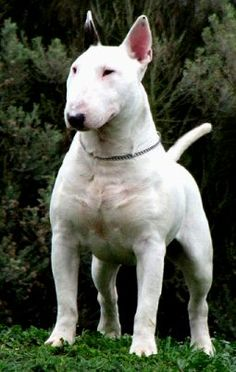 Find Bull Terrier - Standard Puppies For Sale