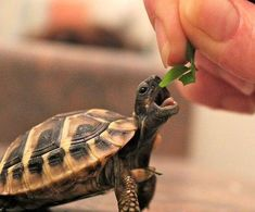 The popularity of tortoises as pets has increased over time. This is because they are silent, they do not shed any far and they are cute. They are most cute Cute Tortoise, Tortoise Turtle, Baby Tortoise, Tortoise Care, Cute Baby Animals, Animals And Pets, Funny Animals, Animals Images, Cute Turtles