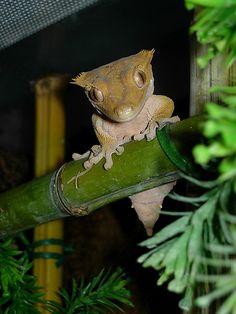 rhacodactylus | Rhacodactylus ciliatus(New Caledonia Crested Gecko) | Flickr - Photo ...