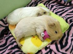 Guinea pig with a tiny teddy bear! <3 Okay, are you dying of the cute yet? Linda