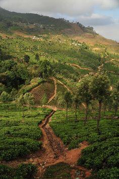 Tea plantations - Haputale, Central - Sri Lanka