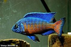Male Ngara Flametail Peacock Inch Aulonocara African Cichlid Guaranteed for sale online Cichlid Aquarium, Cichlid Fish, Tropical Freshwater Fish, Freshwater Aquarium Fish, Malawi Cichlids, African Cichlids, Tropical Aquarium, Tropical Fish, Fish For Sale