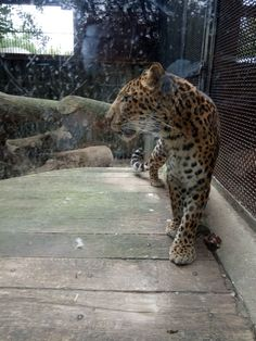 Ze zoo Liberec. doporučuji se podívat. Panther, Animals, Animales, Animaux, Animal Memes, Animal, Animais, Dieren, Black Panthers