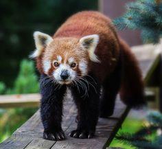Red Panda (Ailurus fulgens) ~ photo by Jean-Claude Sch.