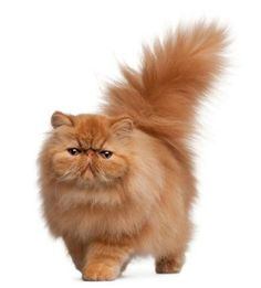 The Persian cat is probably the most popular of all cat breeds. Purebred Persians cats are common all over the world as pets, and are prominent participants in every cat show. Animal Gato, Mundo Animal, Persian Kittens, Cats And Kittens, Pretty Cats, Beautiful Cats, Long Hair Cat Breeds, Gatos Cool, Long Haired Cats