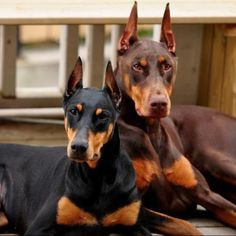 I mean really would wouldn't want one of these awesome dogs! #Doberman