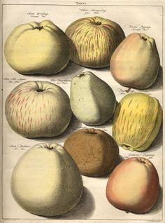 Tab. VI in Knoop's Pomologia uit 1758... linksonder Soete Bobbert
