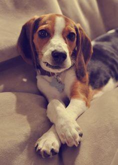 Love how they cross their legs. Beagle. #dog #beagle #animal