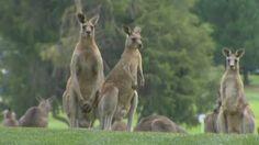 Kangaroos storm golf course during Women's Australian Open in Canberra