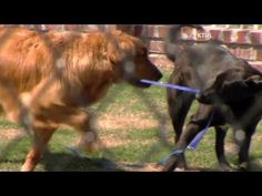 Blind Golden Retriever gets Guide Dog