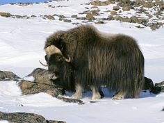 Musk ox. They are about the size of a sheep. They look pre-historic. Their undercoat of fur is the warmest substance on earth, I'm told. It is gathered and spun into yarn called qiviut.(Excellent Scrabble word.) I knitted a scarf from it...another thing I like!