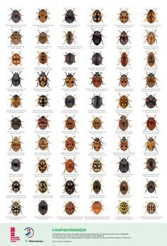 Lieveheersbeestjes