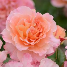 'Augusta Louise' rose Clear Spring, Bright Spring, Spring Colors, Spring Images, Beautiful Images, Beautiful Flowers, Carnations, Lawn And Garden, Colorful Flowers