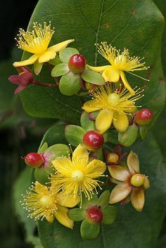 Hypericum (St John's Wort) Great shade plant. - Very tough plant, good for dry clay. Grows into a small shrub