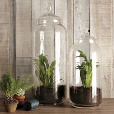 Indoor gardening using tall glass jars. Can make dramatic displays out of rock collections and terrarium plants.