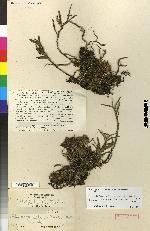Tridactyle brevifolia