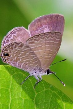 Large Purple Butterfly....