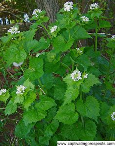 Garlic mustard.  Invasive.  Originally brought to this county as a culinary herb.