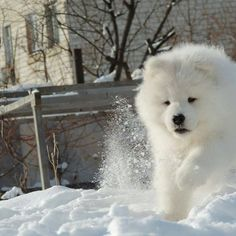 Storming down the castle @we_love_samoyed