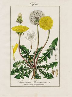 """Dandelion, Leontodon taraxacum from German botanist, Eduard Winkler's Medicinal Prints in 1832. Abbildungen Sämmtlicher Arzneigewachse Deutschlands was a beautiful work encompassing a comprehensive study of flora with pharmaceutical properties, particularly plants found in Germany. It represented a self study for students of botany, medicine and pharmacy as well as homeopathic practitioners. It was published over the period in association with the """"Magazine fur Industrie and Literatur."""""""
