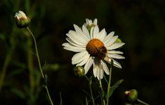 Endlich Regen,  ... sagte mein Garten heute morgen zu mir. Das freut besonders die Spätblüher, wie Herbstmargeriten. Und Bienen und Hummeln waren auch wieder unterwegs. :-)