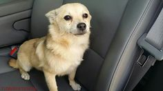 11/28/16- SUPER URGENT - HOUSTON FACILITY IS OVER CAPACITY -This DOG - ID#A473056  I am a male, tan and black Pomeranian mix.  The shelter staff think I am about 1 year and 9 months old.  I have been at the shelter since Nov 28, 2016.  This information was refreshed 49 minutes ago and may not represent all of the animals at the Harris County Public Health and Environmental Services.