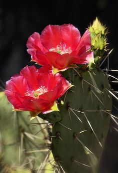 pink prickly pear cactus flower images | Related to Prickly Pear Cactus Drawing