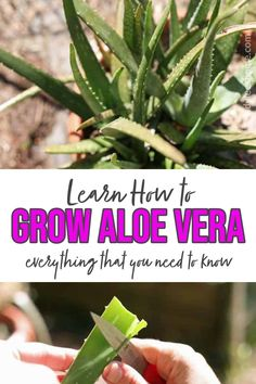 Aloe vera is an amazing plant that keeps on giving. It required very little maintenance! Learn how to grow an aloe vera plant no matter where you live. Growing Herbs In Pots, Growing Aloe Vera, Herb Gardening, Herbs Indoors, Plant Care, Natural Remedies, Easy Meals, Live, Amazing