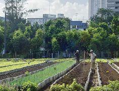 RT @inhabitat: Urban farming in Cuba now accounts for 50% of fresh fruits and veggies. #transition #EatLocal @TweetEco