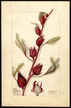 'Roselle' Hibiscus, Deborah Griscom Passmore, 1906 - U.S. Department of Agriculture Pomological Watercolor Collection. Rare and Special Collections