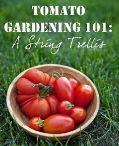 Tomato Gardening 101 With A String Trellis (tons of good tips!)