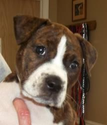 Betsy is an adoptable Boxer Dog in Kansas City, MO. Little Betsy is adorable! she is a Boxer/Pit bull mix and is about 8 weeks old. Betsy is in a foster home doing awesome! She plays hard and then can...