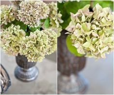 """HOW TO DRY HYDRANGEAS...pick in early fall, place in a vase with 2-3"""" of water, let water evaporate. This may take a few weeks. Drying them upright in water allows the flower to retain it's large shape."""