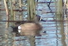 Common Name: BLUE-WINGED TEAL,  Scientific Name: ANAS DISCORS