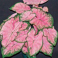 Fancy Leaf Caladium Pink Splash