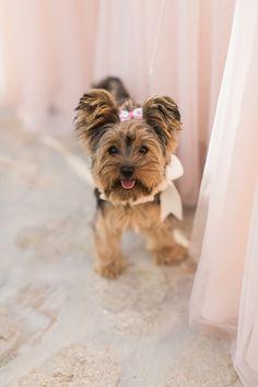 The cutest Yorkie pup: http://www.stylemepretty.com/2016/07/22/mykonos-island-greece-destination-wedding/ | Photography: Anna Roussos - Photographer - http://annaroussos.com/