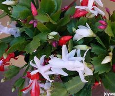 It can take a little effort, but when your Christmas Cactus is covered in blooms, it's so worth it.I've been growing Christmas Cactus since I was a little girl. We had quite a few of them in our greenhouse in Connecticut which bloomed at the holidays with no effort at all. Now I grow them in my garden in Santa Barbara where they enjoy our year round temperate climate. Even if mine didn't bloom, I'd love them anyway because of their unusual, appealing foliage and somew...