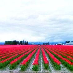 Tulip season in Anacortes! Anacortes Washington, Tulip Season, What A Beautiful World, Tulip Fields, Take Me Home, Washington State, Pacific Northwest, West Coast, Travel Ideas