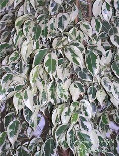 Фикус бенджамина сорт Старлайт 'Starlight' Листья средние (около 4-6 сантиметров), длина в 3 раза больше, чем ширина. Листья слегка согнуты лодочкой вдоль центральной жилки, кончик только слегка отогнут, край не волнистый. Окраска листьев - насыщенный зеленый с широкой белой полосой по краю, некоторые листья почти белые. Растет быстро. Ficus, Plants, Flora, Fig, Figs, Plant