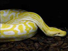 jeune python molure enroulé