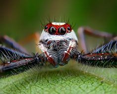 ✧ Mesmerizing Nature ✧ - Two Striped Telamonia Jumping Spider, A Bug's Life, Bugs And Insects, Macro Photography, Nature, Animals, Spiders, Technology, Halloween